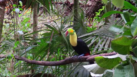 A-keel-billed-toucan-sits-on-a-branch-in-the-jungle-2
