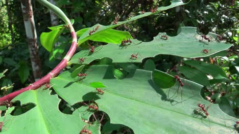 Leafcutter-ants-move-across-a-leaf-in-the-jungle