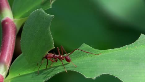 Leafcutter-ants-move-across-a-leaf-in-the-jungle-1