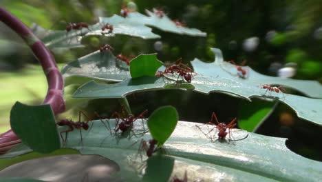 Hormigas-Cortadoras-De-Hojas-Se-Mueven-A-Través-De-Las-Hojas-En-La-Jungla