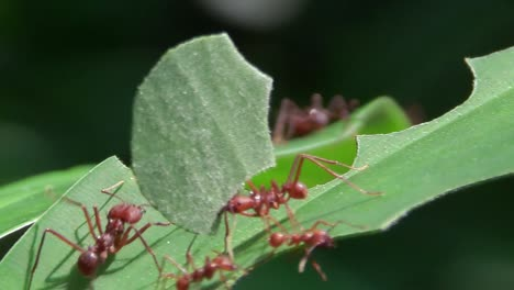 Leafcutter-ants-move-across-and-cut-leaves-in-the-rainforest