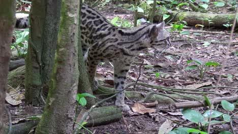 A-margay-walks-through-a-jungle-environment
