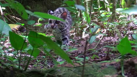 A-margay-walks-through-a-jungle-environment-1