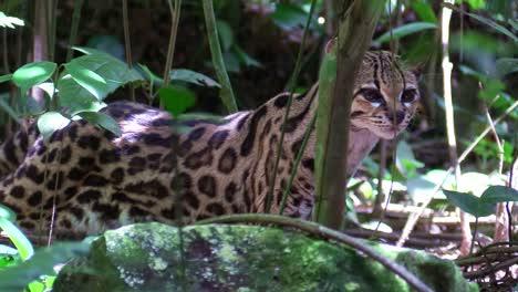 A-margay-walks-through-a-jungle-environment-2