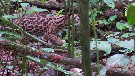A-margay-walks-through-a-jungle-environment-3
