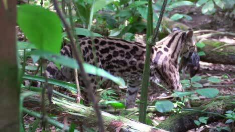 A-margay-walks-through-a-jungle-environment-and-picks-up-a-rat