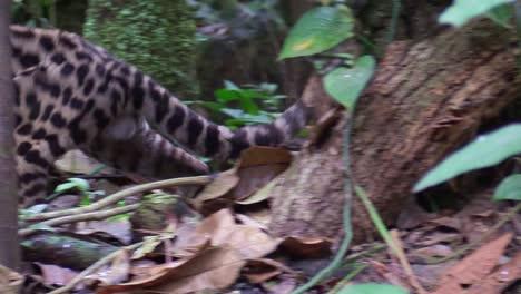 A-margay-walks-through-a-jungle-environment-and-picks-up-a-rat-1