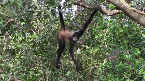 A-spider-monkey-swings-through-the-trees