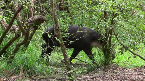 A-tapir-walks-through-a-forested-region