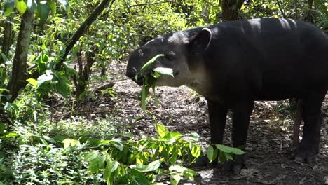 A-tapir-chews-on-vegetation-in-the-forest-1
