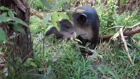A-tapir-chews-on-vegetation-in-the-forest-2