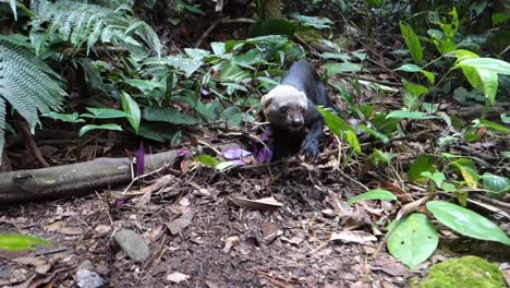 A-tayra-weasel-plays-in-the-jungle