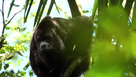 A-howler-monkey-cries-out-in-a-tree-in-the-rainforest-of-Belize