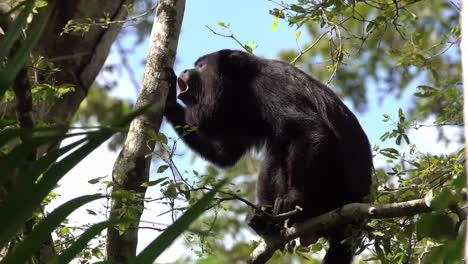 A-howler-monkey-cries-out-in-a-tree-in-the-rainforest-of-Belize-1