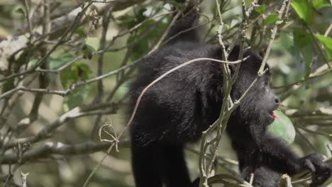 A-howler-monkey-eats-leaves-and-feeds-in-the-rainforest-of-Belize