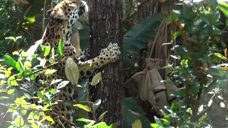 A-jaguar-climbs-a-tree-in-the-jungle-of-Belize-in-slow-motion