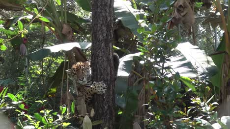 A-jaguar-descends-a-tree-in-the-jungle-of-Belize