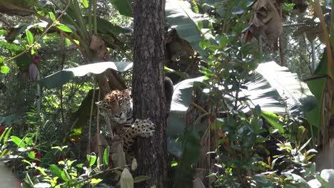 Un-Jaguar-Desciende-De-Un-árbol-En-La-Selva-De-Belice