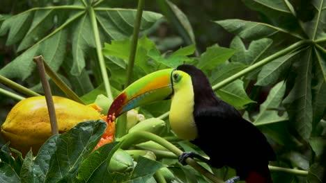 Un-Tucán-De-Pico-De-Quilla-Come-Papaya-En-La-Selva-Tropical-De-Belice-1
