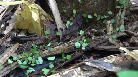 Leafcutter-ants-move-leaves-across-the-floor-of-the-jungle-of-Belize-1