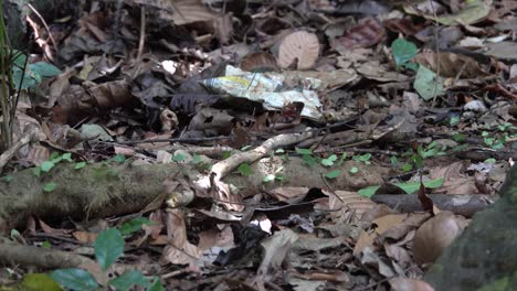Leafcutter-ants-move-leaves-across-the-floor-of-the-jungle-of-Belize-2