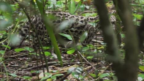 A-margay-ocelot-carries-a-rat-across-the-rainforest-floor-in-Belize