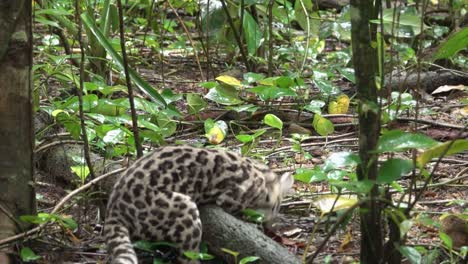 A-margay-ocelot-catches-a-rat-in-the-rainforest-in-Belize