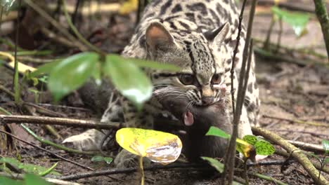 A-margay-ocelot-catches-a-rat-in-the-rainforest-in-Belize-1
