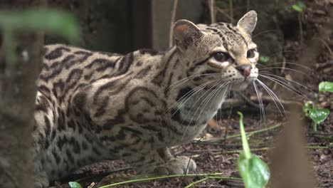 A-margay-poses-beautifully-in-the-rainforest-in-Belize