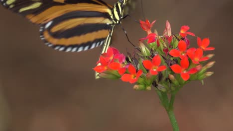 A-tiger-longwing-butterfly-poses-on-a-flower