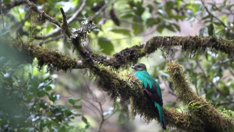 A-colorful-female-quetzal-bird-sits-on-a-branch-in-the-Amazon-rainforest