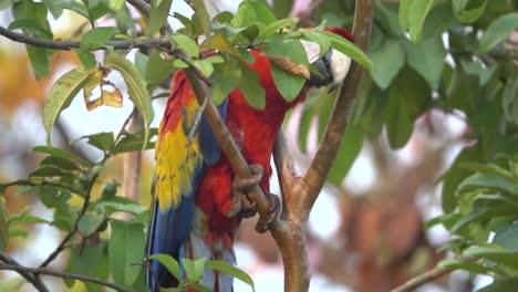 Un-Loro-Guacamayo-Escarlata-Trepa-A-Un-árbol-En-La-Selva-De-Costa-Rica