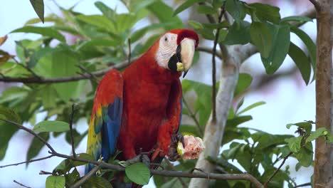 Un-Loro-Guacamayo-Escarlata-Come-Guayaba-En-Una-Rama-En-La-Selva-De-Costa-Rica