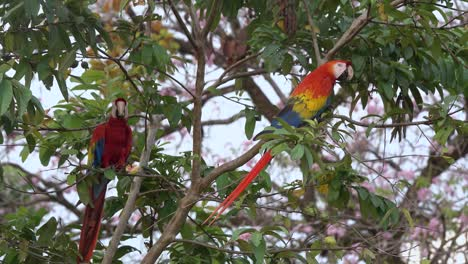 Two-scarlet-macaw-parrots-eat-guava-on-a-branch-in-the-jungle-of-Costa-Rica