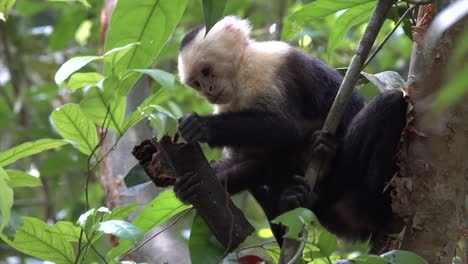 White-faced-capuchin-monkey-feeding-in-the-rainforest-of-Costa-Rica