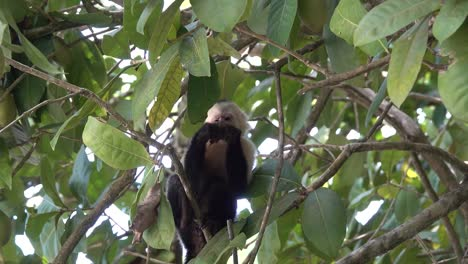 White-faced-capuchin-monkey-feeding-in-the-rainforest-of-Costa-Rica-1