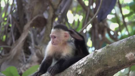 Two-white-faced-capuchin-monkeys-play-in-the-rainforest-of-Costa-Rica