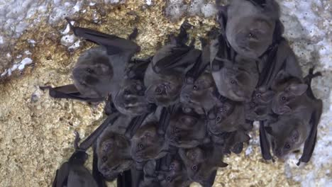 A-cluster-of-bats-huddles-in-a-cave-in-Cuba