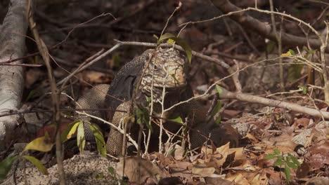 Una-Iguana-Se-Alimenta-Come-Ramitas-Y-Ramas-En-El-Suelo-Del-Bosque-En-Cuba