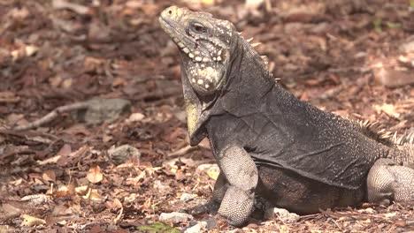 Una-Iguana-Cubana-Se-Sienta-En-El-Suelo-Del-Bosque-Mirando-A-Su-Alrededor-