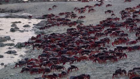 Hundreds-of-land-crabs-crowd-onto-a-Caribbean-beach
