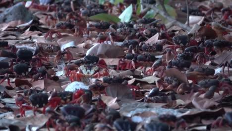Hundreds-of-land-crabs-walk-across-a-Caribbean-beach