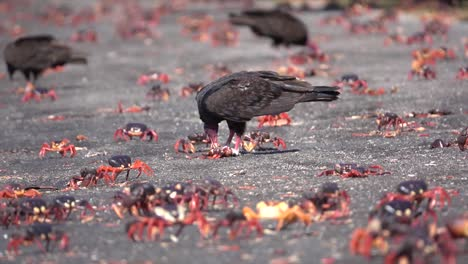 Turkey-vultures-attack-and-eat-land-crabs-walking-on-a-Caribbean-beach