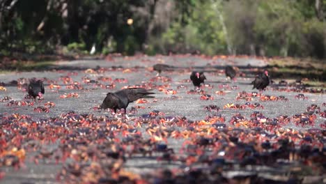 Turkey-vultures-attack-and-eat-land-crabs-walking-on-a-Caribbean-beach-1
