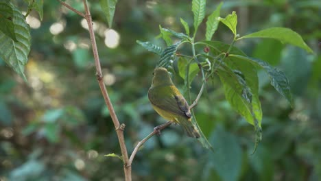 A-pretty-green-bird-the-painted-bunting-female-in-a-forest