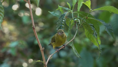A-pretty-green-bird-the-painted-bunting-female-in-a-forest-1