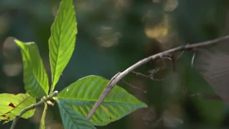 Un-Pájaro-Multicolor-El-Macho-Del-Empavesado-Pintado-En-Un-Bosque-1
