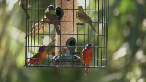 Songbirds-gather-at-a-bird-feeder-including-painted-buntings