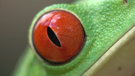 Extreme-close-up-of-the-eye-of-a-red-eyed-tree-frog-blinking