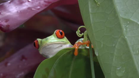 Close-up-of-a-red-eyed-tree-frog-looking-over-a-leaf-in-the-rainforest